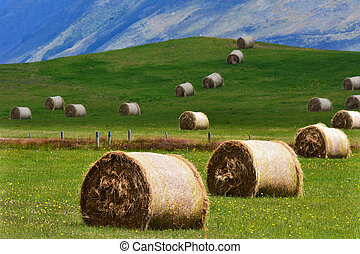 Yellow wheat rolls on a green field in Otago, New Zealand.