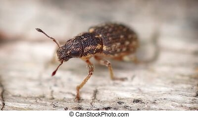 Otiorhynchus beetle on the surface of rotten wood in the wild