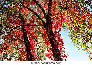 otoño, árbol, rojo