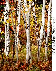 otoño, árboles del abedul