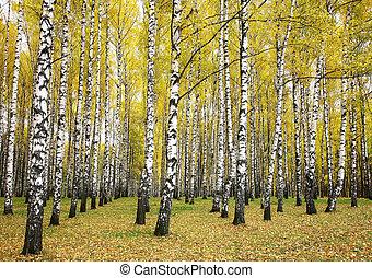 otoño, arboleda, abedul