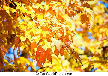 otoño, arce, árboles, en el estacionamiento
