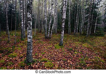 otoño, birchwood
