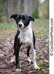 otoño, casta mezclada, perro, bosque
