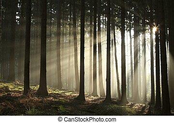 otoño, conífero, amanecer, bosque