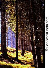 otoño, conífero, bosque