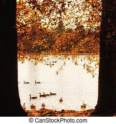 otoño, gansos, lago, canadiense