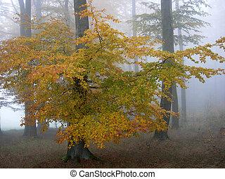 otoño, haya, bosque, en, el, niebla