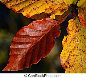 otoño, Haya, hojas