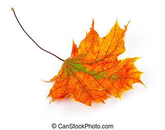 otoño, hoja de arce, aislado, blanco, plano de fondo