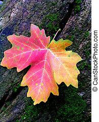 otoño, hoja de arce