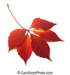 otoño, hoja roja