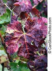 otoño, hoja vid, rojo, viña