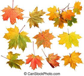 otoño, hojas, aislado, arce