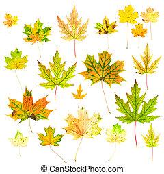otoño, hojas, arce, Colección
