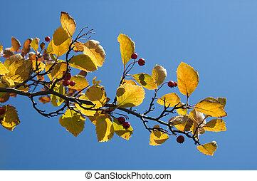 otoño, hojas azules, cielo, contra