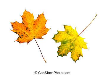 otoño, hojas, blanco, aislado, Plano de fondo