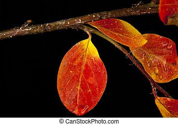 otoño, hojas, rama