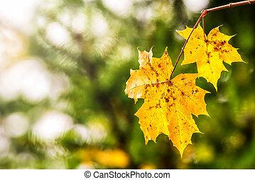 otoño, hojas, superficial, foco, arce
