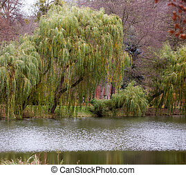 otoño, otoño, park., lago, y, sauce llorón, árbol.