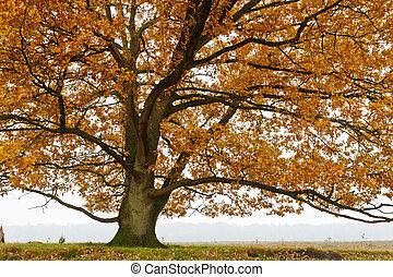 otoño, roble, árboles