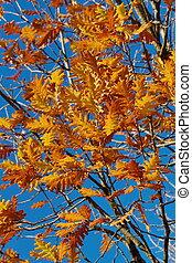 otoño, rojo, roble sale