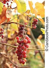 otoño, uvas rojas