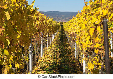 otoño, wineyards