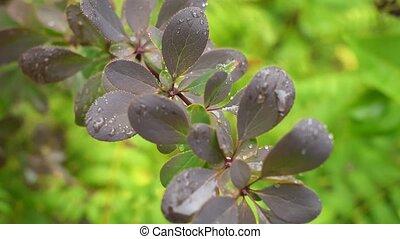 ottawica, berberis, prise vue., buisson, closeup, gouttes pluie, branch.