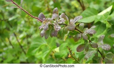 ottawica, coup, berberis, closeup, branche, raindrops.