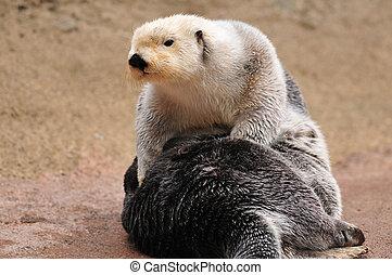 Closeup portrait of a cute Arctic sea Otter basking in sunlight