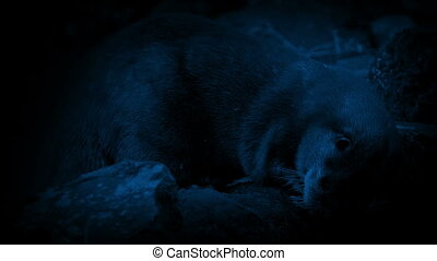 Otter Eating By River At Night - Otter eats fish on river...