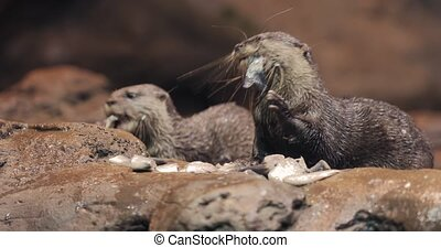 Otter eating fish, Asian small-clawed otter
