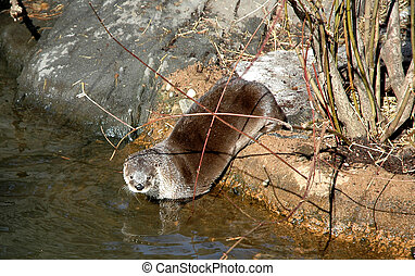 Otter entering the water in its zoo habitat
