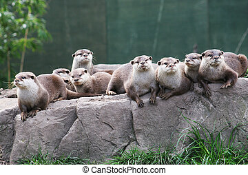 A family group of otters rest on a rock