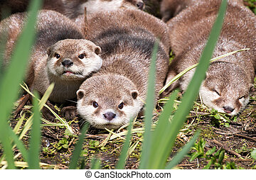 A family of Asain short-clawed otters resting on a riverbank. This is the smallest species of otter in the world, and is indigenous to Southeast Asia