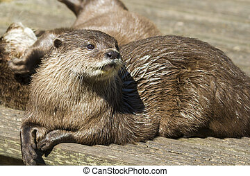 otter(, lutra, lutra)