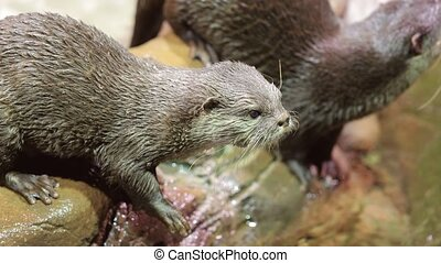 Otters plaing around water, Asian small-clawed otter