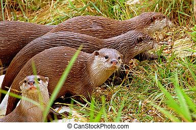 Otters - Wildlife