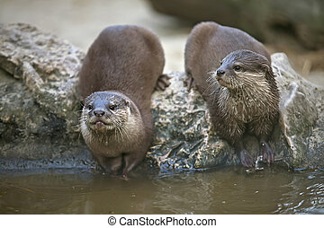 Otters watching