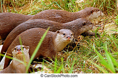 Otters - Wildlife