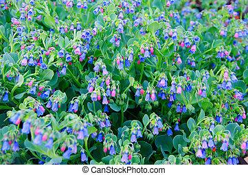 ou, bellflowers), campanule