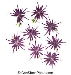 ou, blanc, scrapbooking, usage, arrière-plan., fleurs, bleu, phlox, séché, pressé, floristry, herbarium., isolé, ensemble, rose