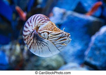 ou, chambered nautile, pompilius, cephalopods, nautile