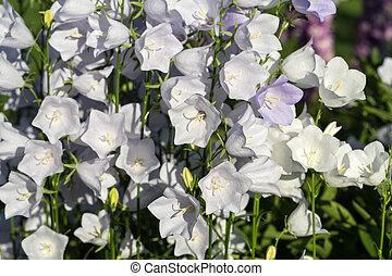 ou, fleurs, campanule, cloches, canterbury