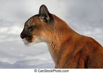 ou, lion montagne, puma
