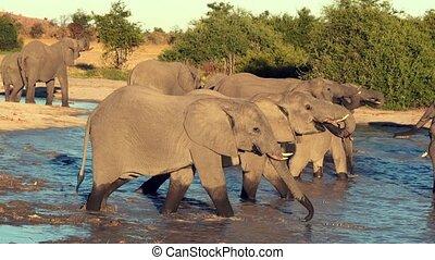 ou, naturel, parade, éléphants, troupeau, eau, vu, boire, trou