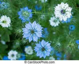 ou, sativa, nigella, erva, flores, azul, -, flor cor-de-rosa, jardim, branca