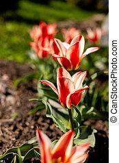 ou, tulipes, jardin, sale., amour, concept., sommet, design., clair, faner, il, tulipe, rouges, printemps, croissant, ton, text., fond, paysage, fleur, usage, blanc