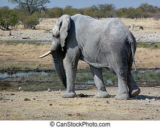oud, afrikaan, stier olifants